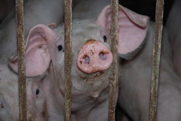 Świnie wyjadą poza strefę buforową