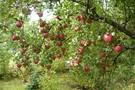 Trzeba szukać nowych rynków zbytu dla polskich jabłek