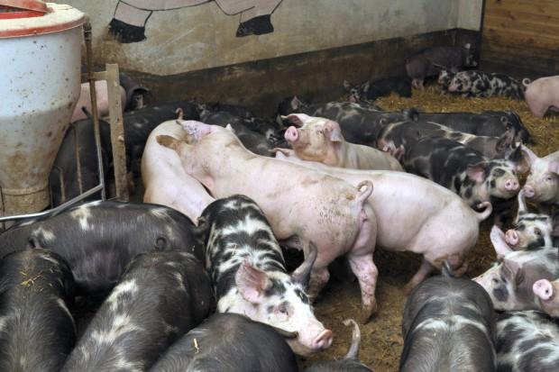To dopiero szczyt dobrostanu świń!