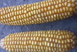 Nowości w kukurydzy