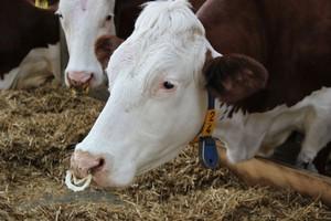 Problem ssących się krów mlecznych