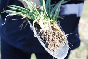 Aktualne zagrożenia oraz zalecenia w pszenicy ozimej