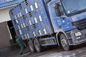 GIW chce wyjaśnień KE ws. transportu świń do Rosji