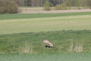 Przybywa zwierzyny w lasach i szkód rolniczych
