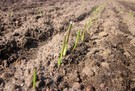 Zboża jare już szpilkują