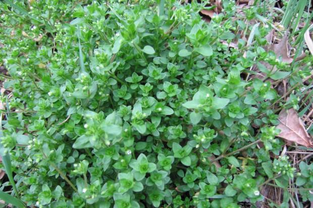 Chwasty – wskaźnik zasobności gleby