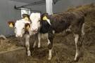 Elektroniczna identyfikacja bydła nieobowiązkowa