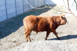 Naturalne czy sztuczne zapłodnienie u bydła ras mięsnych?