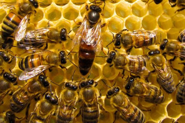 KE: Na północy Europy ginie najwięcej pszczół