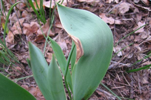Pielęgnacja roślin cebulowych kwitnących wiosną