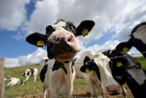 Krowy GM odporne na mastitis