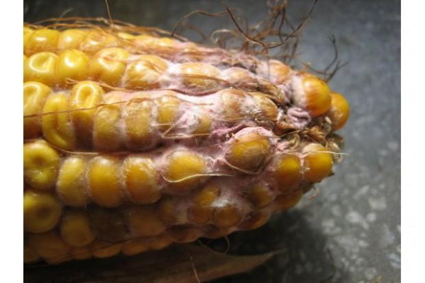 Występowanie chorób liści kukurydzy w Polsce, czy wzrasta ich znaczenie?