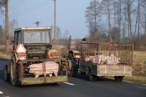 Do 30 maja wnioski o rekompensaty za sprzedane świnie