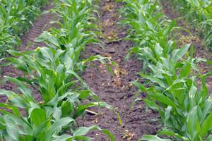 Powschodowe odchwaszczanie kukurydzy