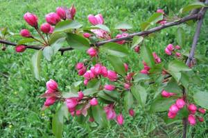 Rajska jabłoń – królowa wiosny i jesieni