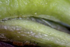 Konieczne zwalczanie miodówek w sadach gruszowych