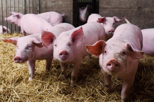 Eksperci ARR: wieprzowina będzie tańsza niż w 2013 r.