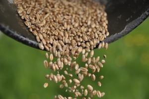 ARR: ceny zbóż na jesieni będą wyższe niż rok wcześniej