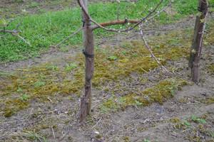 Uszkodzenia mrozowe na jabłoniach