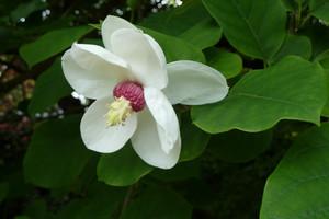 Magnolia – królowa wiosny
