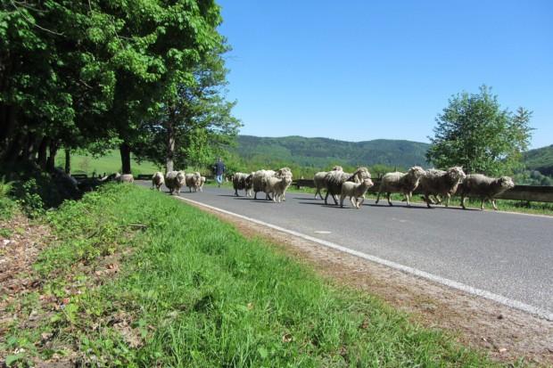 Redyk owiec w Bieszczadach i Beskidzie Niskim