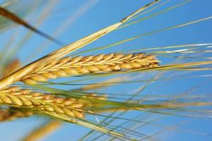 Notowania zbóż w kratkę