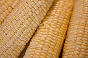 Kukurydza cukrowa – smak warty poznania