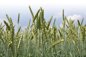 Co zagraża pszenicy?