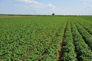Coraz mniej rolników uprawia truskawki