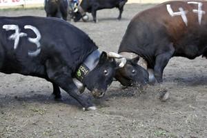 Szwajcarskie walki krów