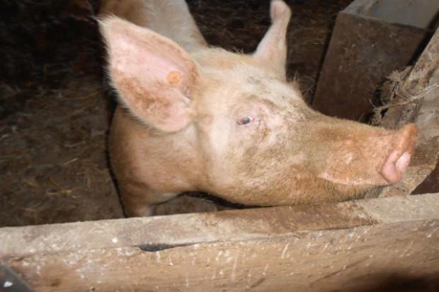 Do czego prowadzi niedobór wit. B u świń?