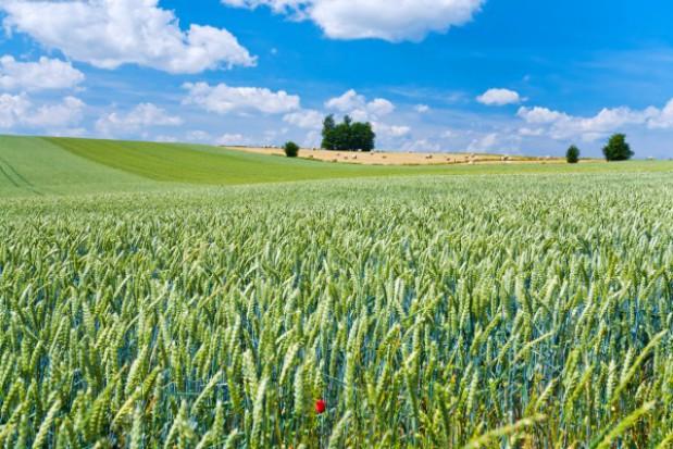 Cynk i miedź filarami plonu zbóż