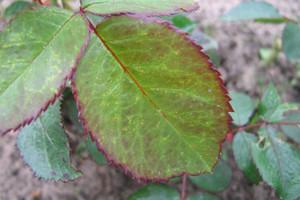 Skoczek liściowy - szkodnik na roślinach ozdobnych