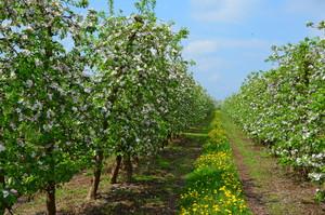 Majowe przymrozki- straty w jabłoniach i wiśniach