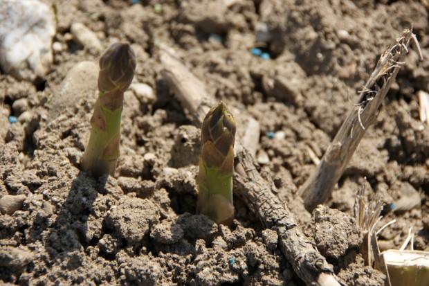 Szparagi z własnego ogródka