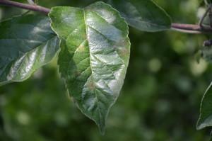 Węglany potasu skuteczne w zwalczaniu parcha jabłoni