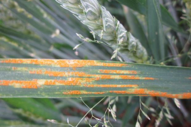Rdzawe pola
