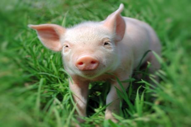 Rosja tymczasowo zakazuje importu żywych świń z USA
