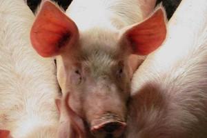 5 głównych błędów w produkcji świń
