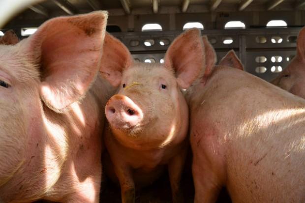 Rosja zakazuje wwozu żywych świń z kolejnych pięciu krajów