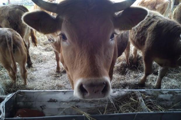 Bydło ras mięsnych – dojrzałość płciowa a rozpłodowa