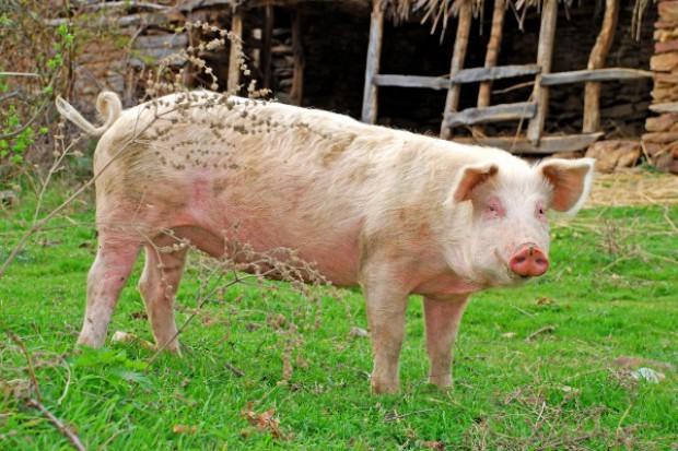 Białoruś: wieprzowina trzy razy droższa niż na Litwie