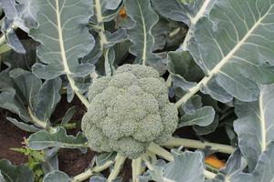 Poplonowa uprawa brokułu