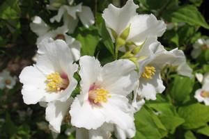 Jaśminowiec –  pachnący krzew