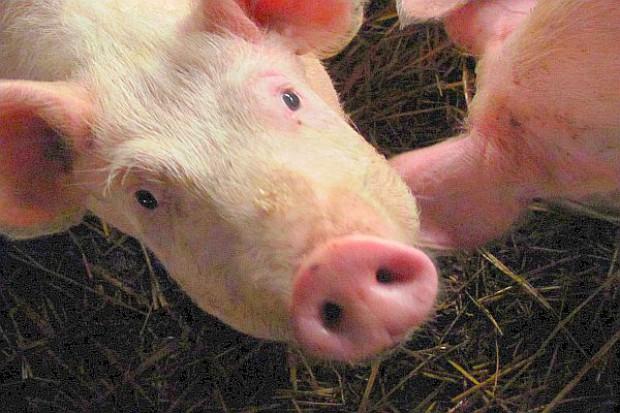 Brak apetytu u świń