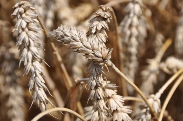 Kolejne dołki notowań zbóż