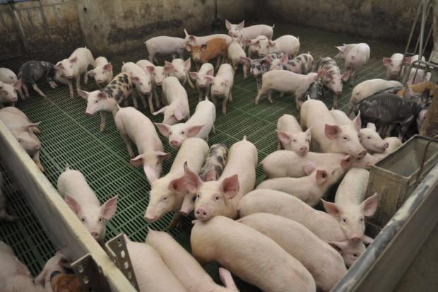 ASF nie zniechęca do produkcji świń