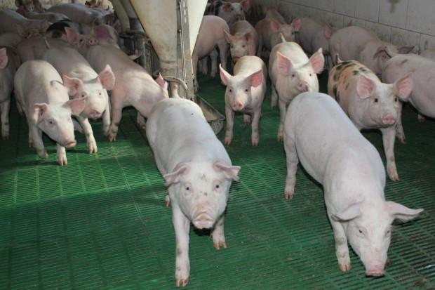 Trudno liczyć na rekordowe ceny świń w trzecim kwartale roku