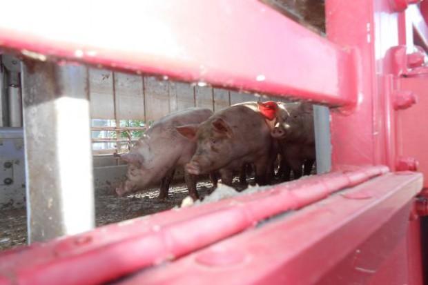 Jak sprawnie załadować świnie ?
