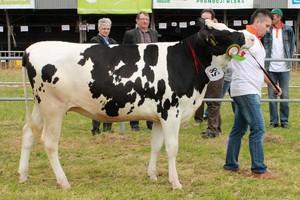 Krowy i jałowice nagrodzone w Bratoszewicach
